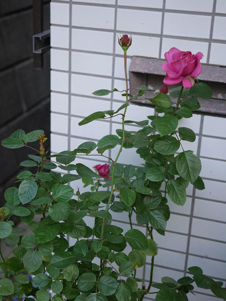 プラムダンディ(Plum Dandy)の秋花が綺麗に咲いた。ミニバラ。2020年-005.jpg