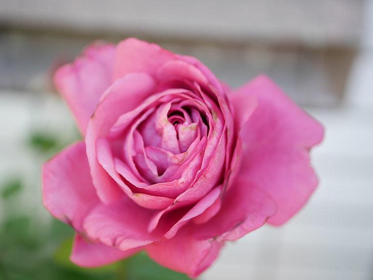 プラムダンディ(Plum Dandy)の秋花が綺麗に咲いた。ミニバラ。2020年-007.jpg