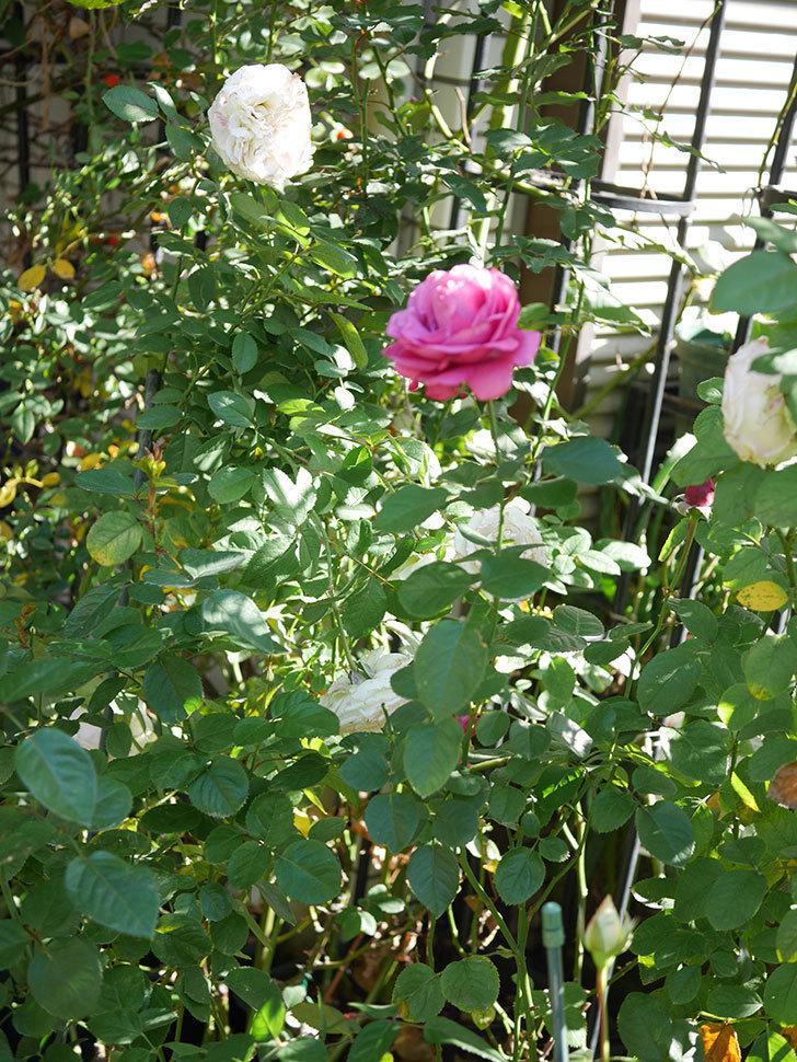 プラムダンディ(Plum Dandy)の秋花が綺麗に咲いた。ミニバラ。2020年-012.jpg