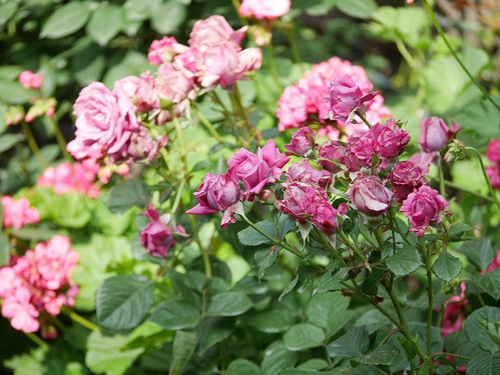 プラムダンディ(Plum Dandy)の花がたくさん咲いた。ミニバラ。2020年-001.jpg