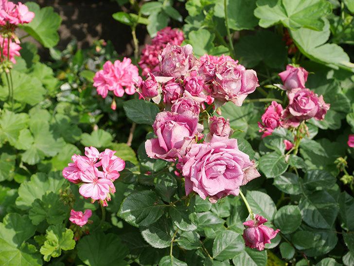 プラムダンディ(Plum Dandy)の花がたくさん咲いた。ミニバラ。2020年-004.jpg