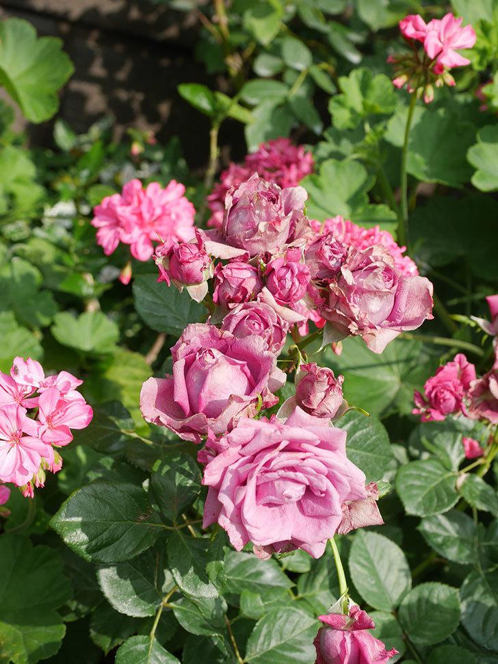 プラムダンディ(Plum Dandy)の花がたくさん咲いた。ミニバラ。2020年-005.jpg