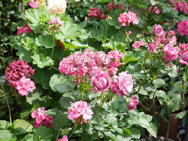 プラムダンディ(Plum Dandy)の花がたくさん咲いた。ミニバラ。2020年-009.jpg