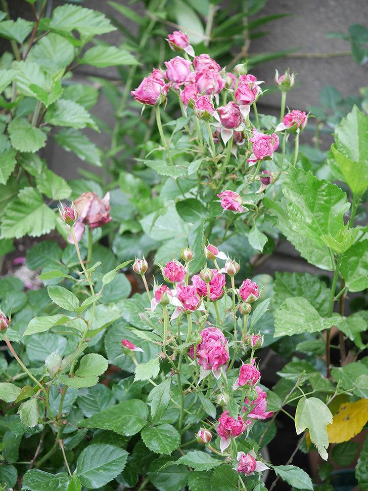 プラムダンディ(Plum Dandy)の花がたくさん咲いた。ミニバラ。2020年-011.jpg