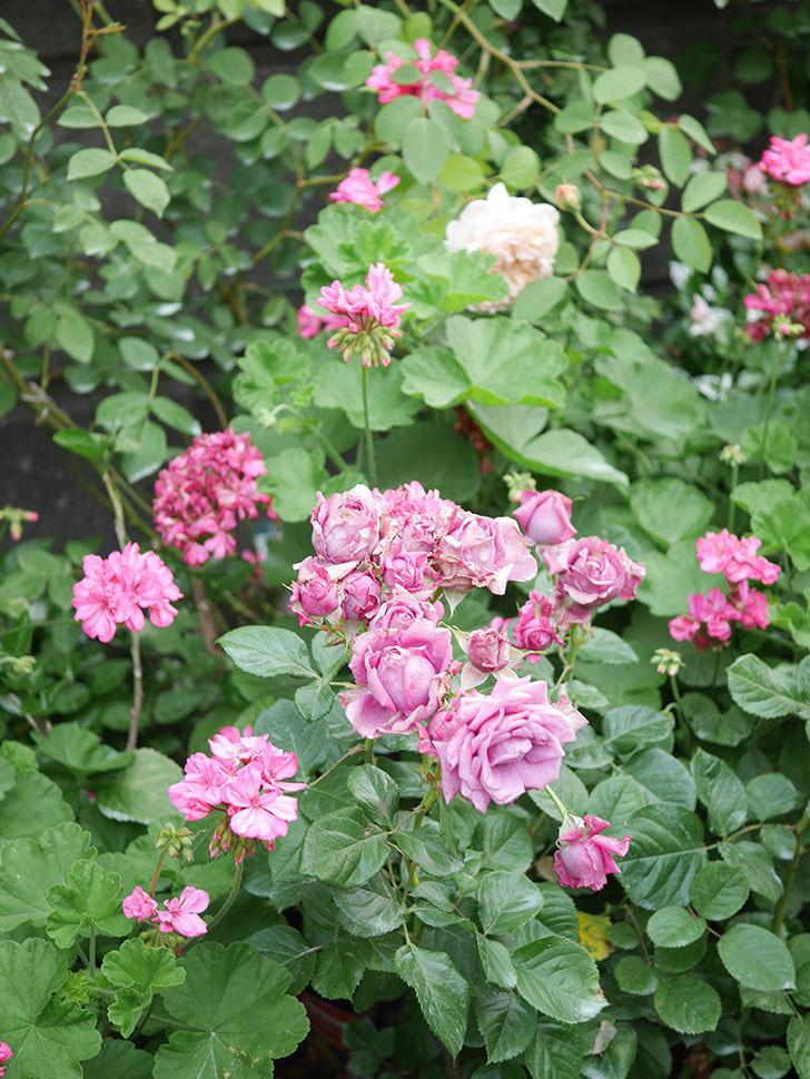 プラムダンディ(Plum Dandy)の花がたくさん咲いた。ミニバラ。2020年-014.jpg