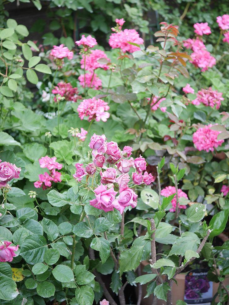 プラムダンディ(Plum Dandy)の花がたくさん咲いた。ミニバラ。2020年-015.jpg