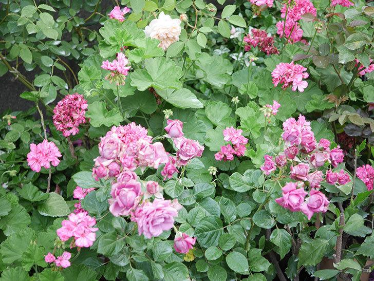 プラムダンディ(Plum Dandy)の花がたくさん咲いた。ミニバラ。2020年-016.jpg