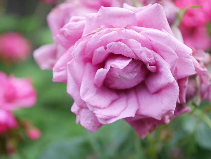 プラムダンディ(Plum Dandy)の花がたくさん咲いた。ミニバラ。2020年-017.jpg