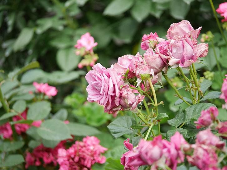 プラムダンディ(Plum Dandy)の花がたくさん咲いた。ミニバラ。2020年-024.jpg