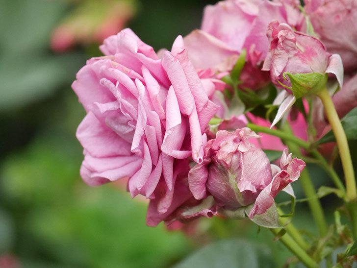 プラムダンディ(Plum Dandy)の花がたくさん咲いた。ミニバラ。2020年-027.jpg