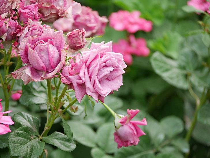 プラムダンディ(Plum Dandy)の花がたくさん咲いた。ミニバラ。2020年-028.jpg