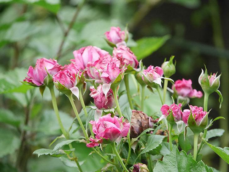プラムダンディ(Plum Dandy)の花がたくさん咲いた。ミニバラ。2020年-029.jpg