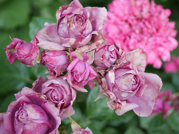 プラムダンディ(Plum Dandy)の花がたくさん咲いた。ミニバラ。2020年-035.jpg