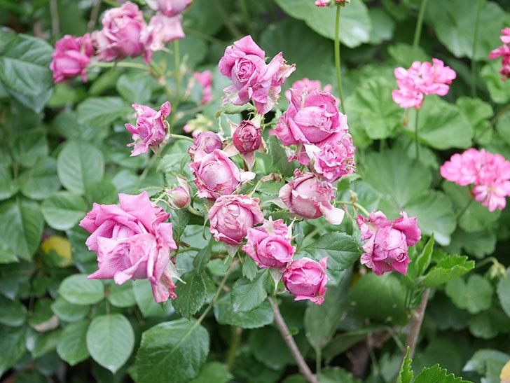 プラムダンディ(Plum Dandy)の花がたくさん咲いた。ミニバラ。2020年-036.jpg