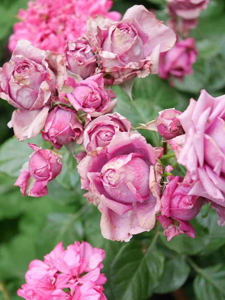 プラムダンディ(Plum Dandy)の花がたくさん咲いた。ミニバラ。2020年-040.jpg