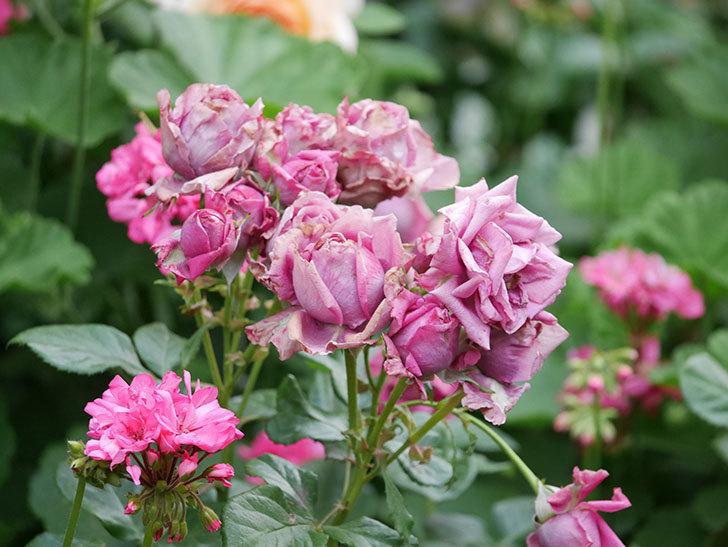プラムダンディ(Plum Dandy)の花がたくさん咲いた。ミニバラ。2020年-043.jpg