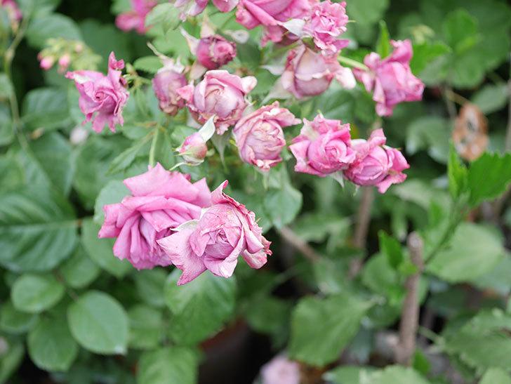 プラムダンディ(Plum Dandy)の花がたくさん咲いた。ミニバラ。2020年-053.jpg