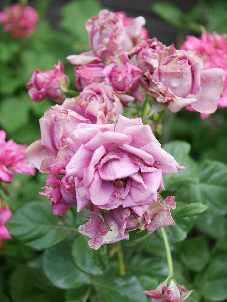 プラムダンディ(Plum Dandy)の花がたくさん咲いた。ミニバラ。2020年-054.jpg