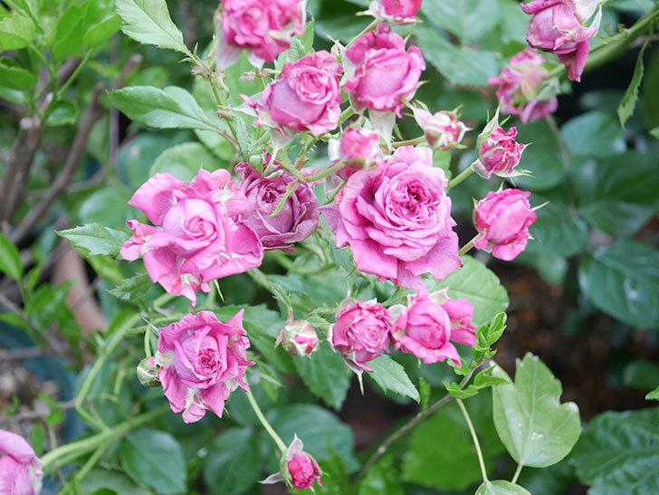 プラムダンディ(Plum Dandy)の花がたくさん咲いた。ミニバラ。2020年-056.jpg