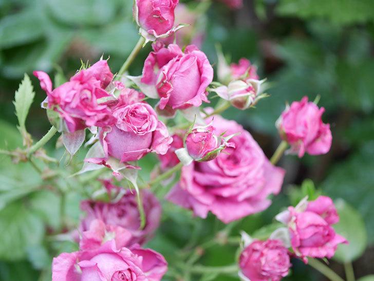 プラムダンディ(Plum Dandy)の花がたくさん咲いた。ミニバラ。2020年-059.jpg
