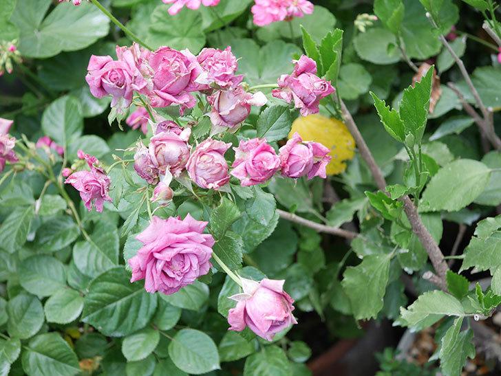 プラムダンディ(Plum Dandy)の花がたくさん咲いた。ミニバラ。2020年-061.jpg