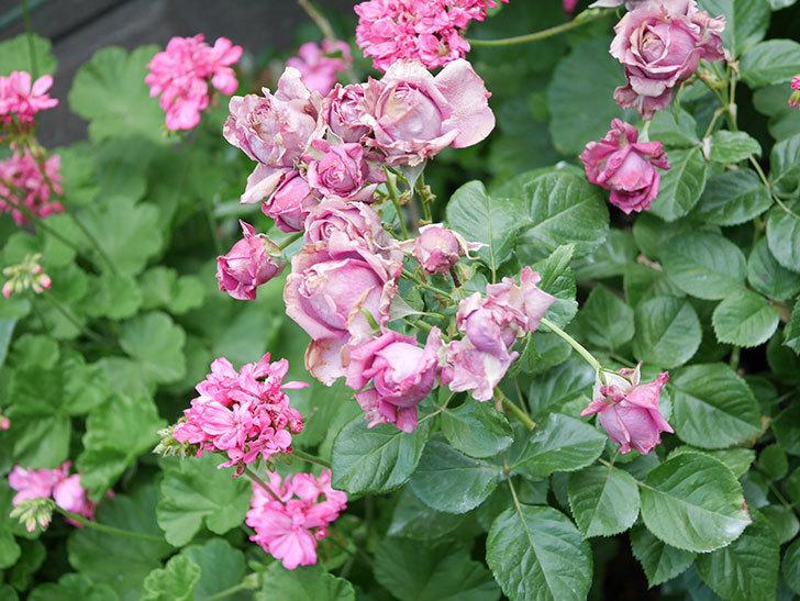 プラムダンディ(Plum Dandy)の花がたくさん咲いた。ミニバラ。2020年-062.jpg