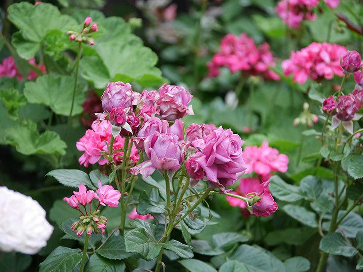 プラムダンディ(Plum Dandy)の花が咲いた。ミニバラ。2020年-001.jpg