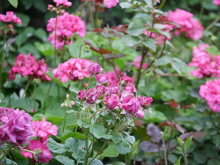 プラムダンディ(Plum Dandy)の花が咲いた。ミニバラ。2020年-002.jpg