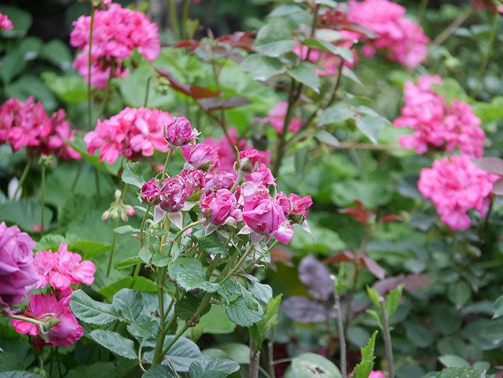 プラムダンディ(Plum Dandy)の花が咲いた。ミニバラ。2020年-003.jpg
