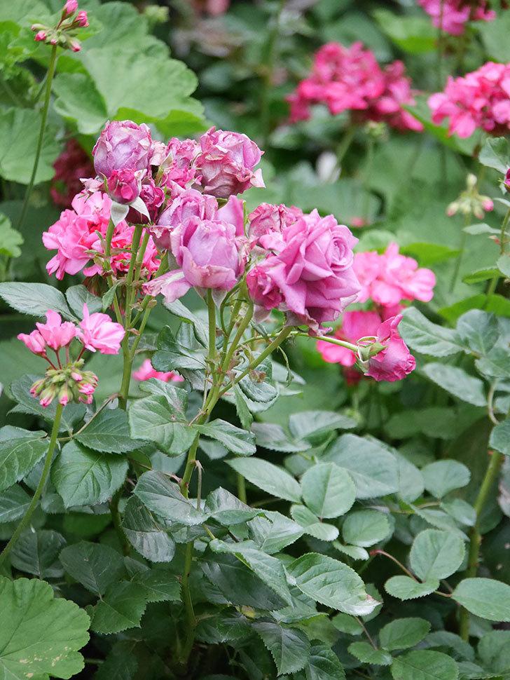 プラムダンディ(Plum Dandy)の花が咲いた。ミニバラ。2020年-005.jpg