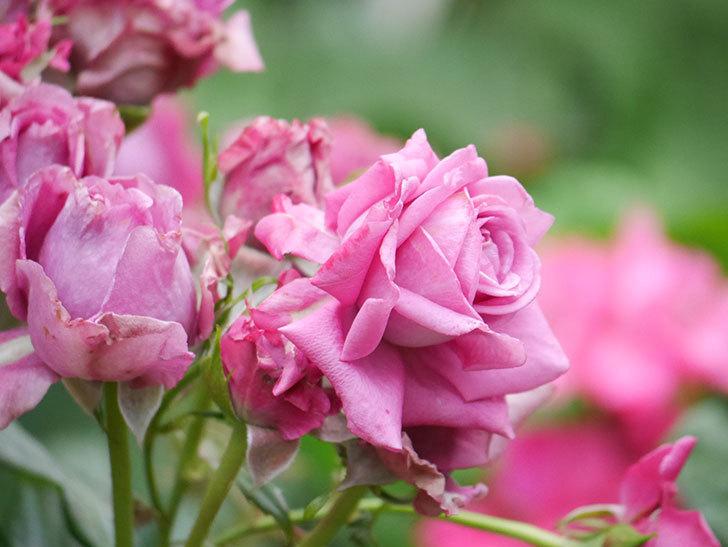 プラムダンディ(Plum Dandy)の花が咲いた。ミニバラ。2020年-007.jpg