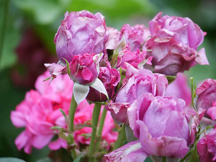 プラムダンディ(Plum Dandy)の花が咲いた。ミニバラ。2020年-008.jpg