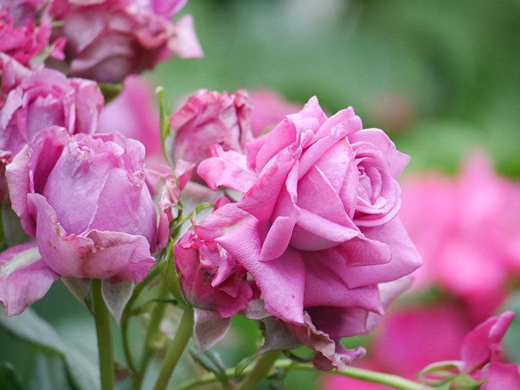 プラムダンディ(Plum Dandy)の花が咲いた。ミニバラ。2020年-009.jpg