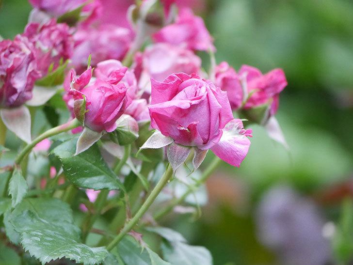 プラムダンディ(Plum Dandy)の花が咲いた。ミニバラ。2020年-010.jpg