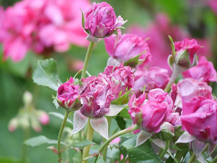 プラムダンディ(Plum Dandy)の花が咲いた。ミニバラ。2020年-011.jpg