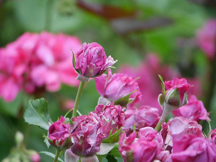 プラムダンディ(Plum Dandy)の花が咲いた。ミニバラ。2020年-012.jpg