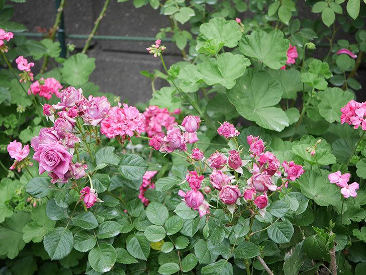 プラムダンディ(Plum Dandy)の花が咲いた。ミニバラ。2020年-013.jpg