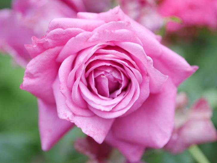 プラムダンディ(Plum Dandy)の花が咲いた。ミニバラ。2020年-015.jpg