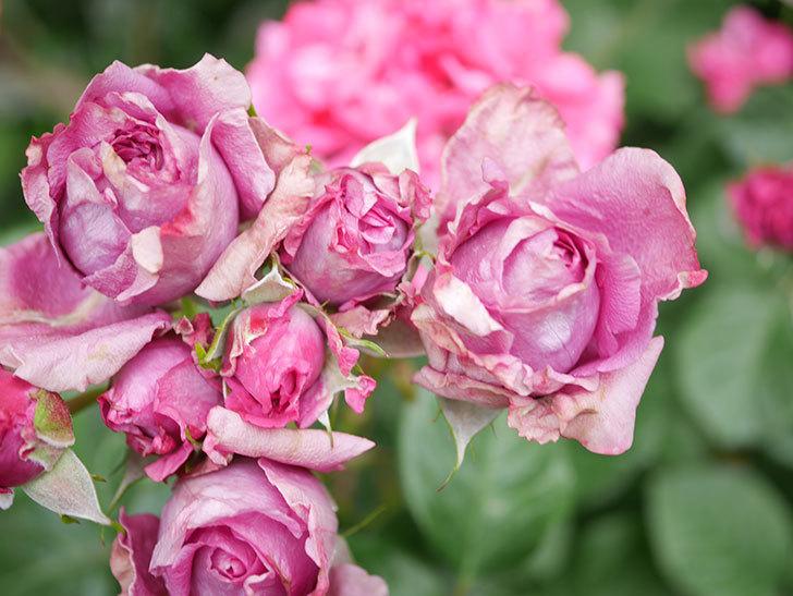プラムダンディ(Plum Dandy)の花が咲いた。ミニバラ。2020年-017.jpg
