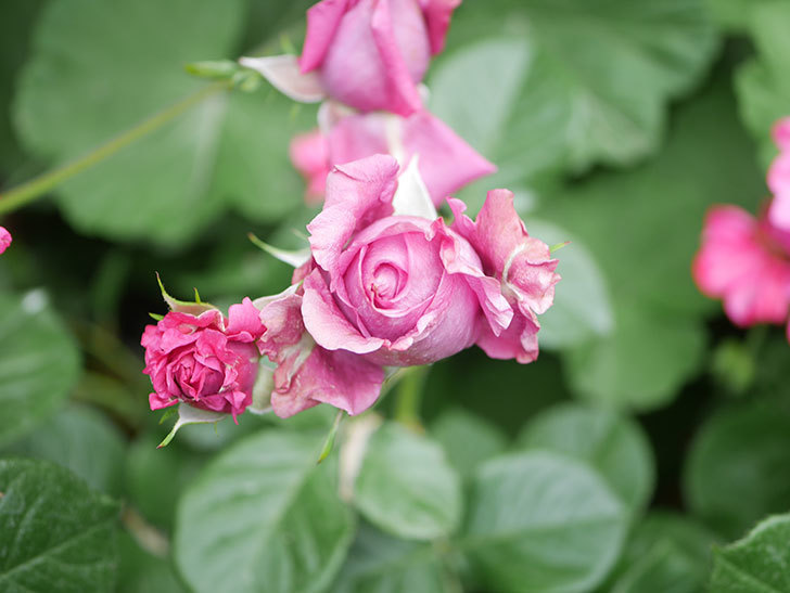 プラムダンディ(Plum Dandy)の花が咲いた。ミニバラ。2020年-018.jpg