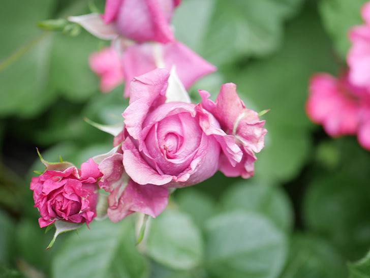 プラムダンディ(Plum Dandy)の花が咲いた。ミニバラ。2020年-019.jpg