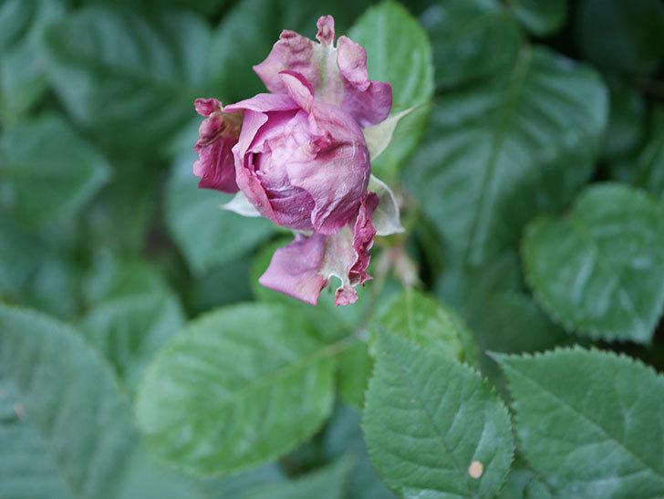 プラムダンディ(Plum Dandy)の花が少し咲いた。ミニバラ。2020年-002.jpg