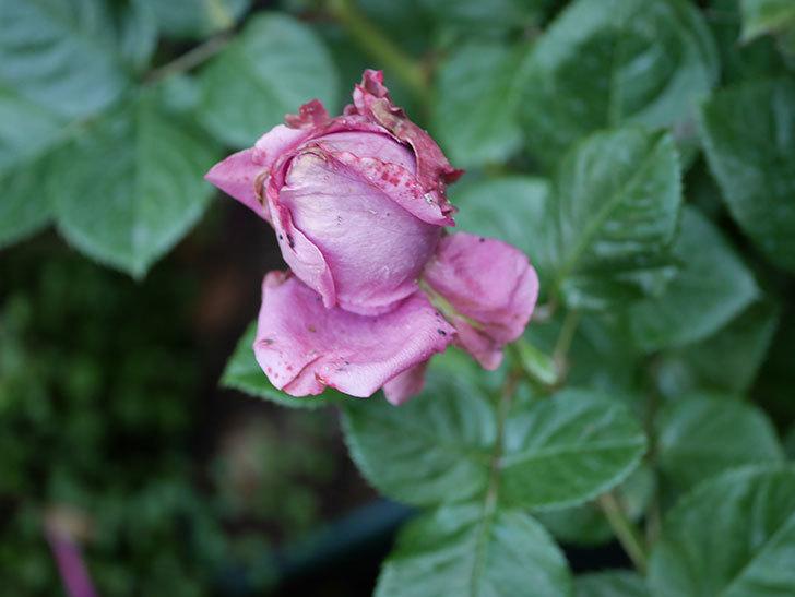 プラムダンディ(Plum Dandy)の花が少し咲いた。ミニバラ。2020年-003.jpg