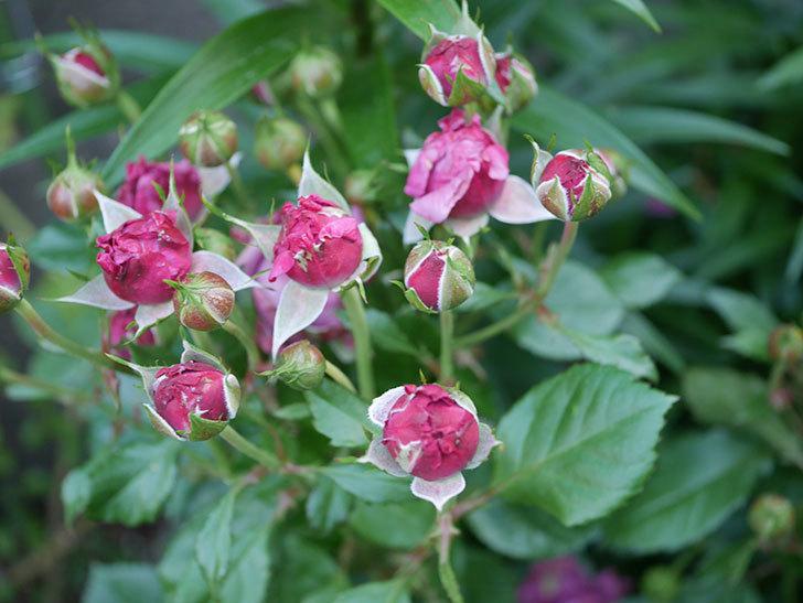 プラムダンディ(Plum Dandy)の花が少し咲いた。ミニバラ。2020年-007.jpg