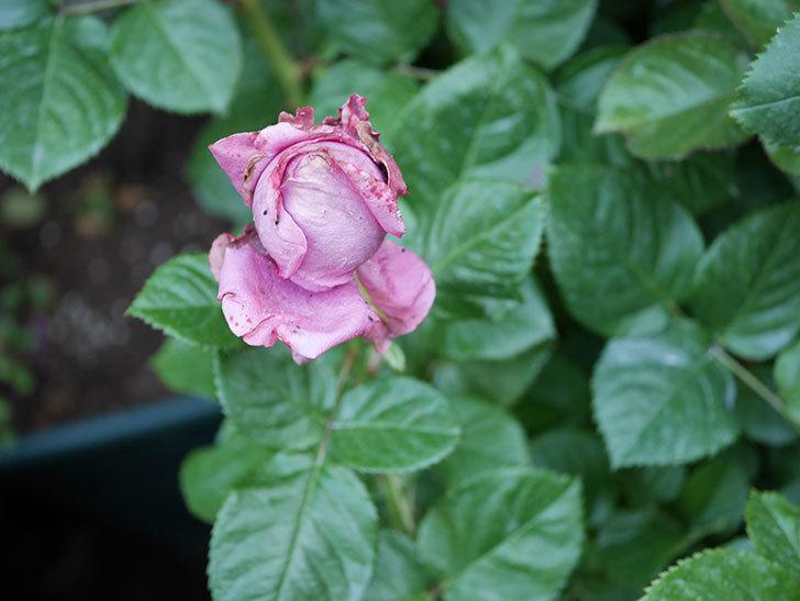 プラムダンディ(Plum Dandy)の花が少し咲いた。ミニバラ。2020年-008.jpg