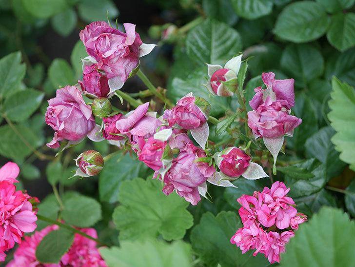 プラムダンディ(Plum Dandy)の花が少し咲いた。ミニバラ。2020年-009.jpg