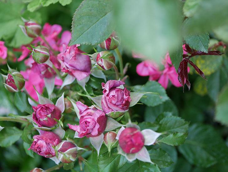 プラムダンディ(Plum Dandy)の花が少し咲いた。ミニバラ。2020年-010.jpg