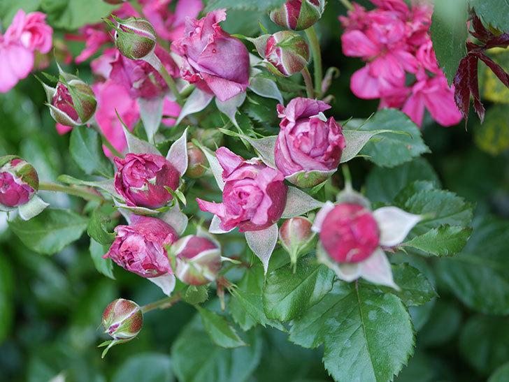プラムダンディ(Plum Dandy)の花が少し咲いた。ミニバラ。2020年-011.jpg