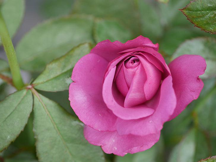 プラム・パーフェクト(Plum Perfect)の2番花がまた咲いた。木立バラ。2020年-007.jpg