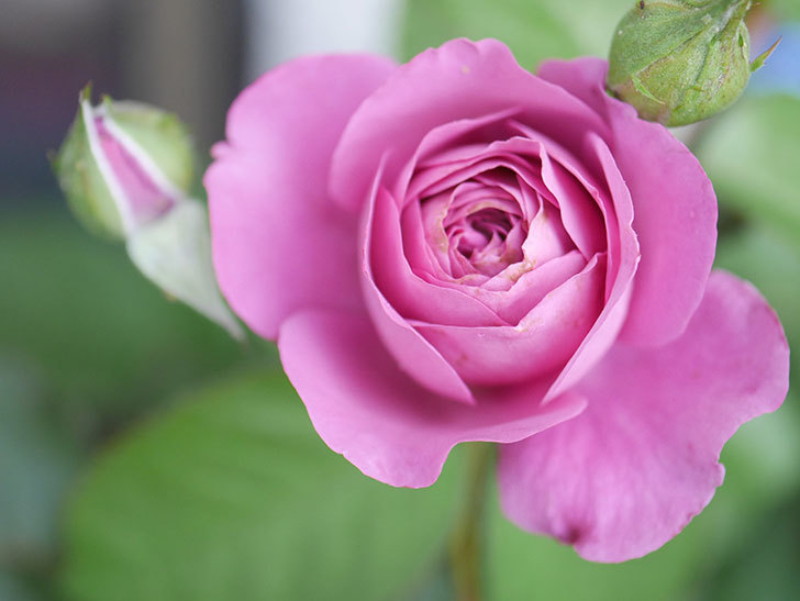 プラム・パーフェクト(Plum Perfect)の2番花が咲いた。木立バラ。2020年-001.jpg